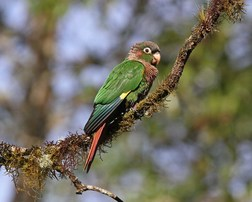 046-brown-breasted-parakeet