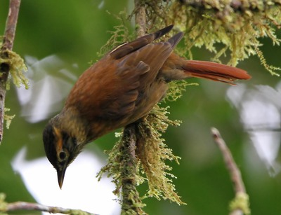 305-scaly-throated-foliage-gleaner