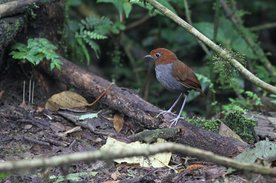 464-bicoloured-antpitta