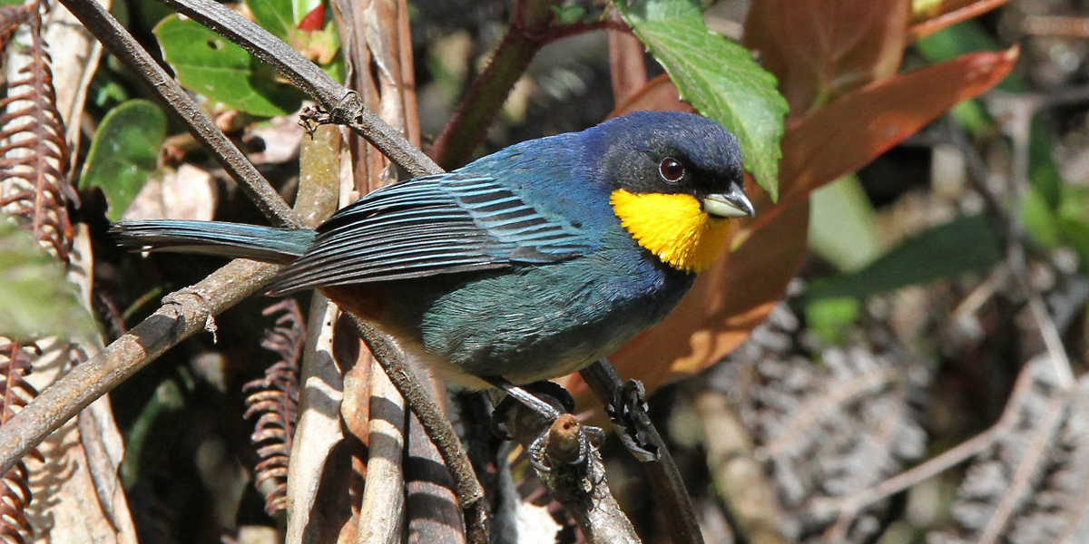 Purplish mantled tanager S.